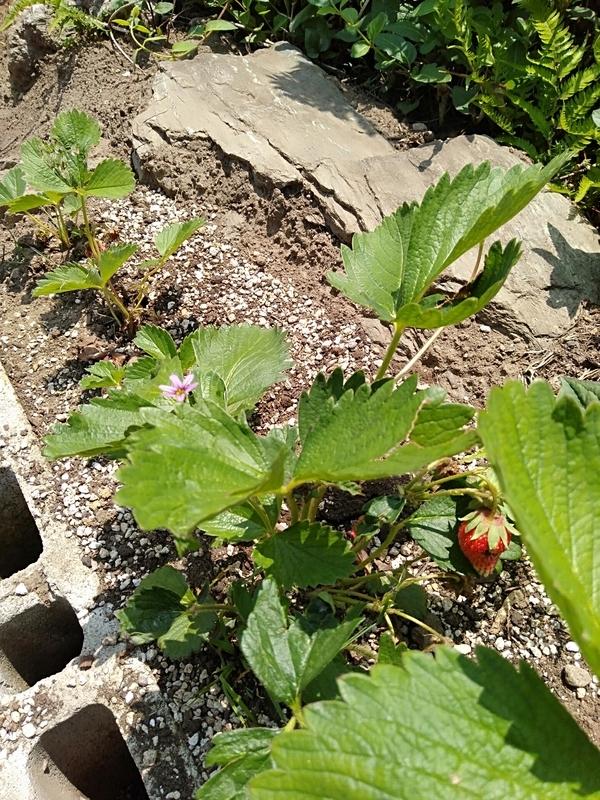 庭のイチゴ。鳥が食べてるらしい。