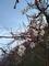 散歩道の梅が咲き始めた!春よこい