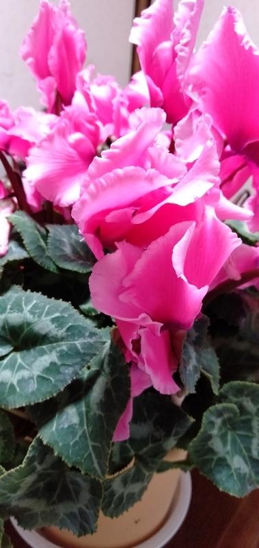 シクラメン冬の花祖母のイメージ