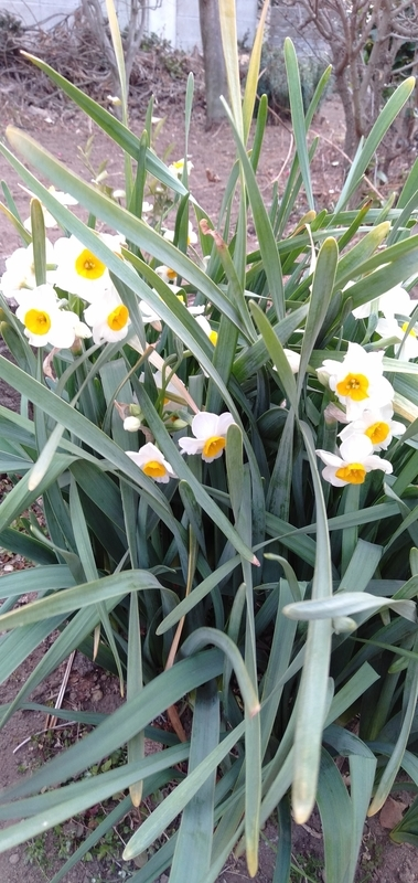庭の水仙。これと梅しか花が咲いてない。
