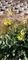 散歩道に春菜の花