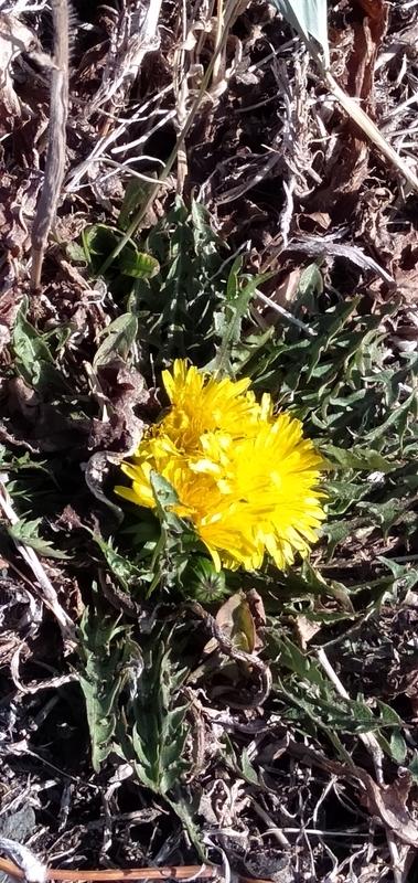 散歩道に黄色い春たんぽぽ