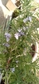 ローズマリーに花が咲いた