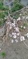 庭の桜が咲いた!
