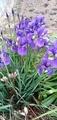 紫色のー花を越えてー♪散歩道の花