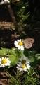 姫蛇目ヒメジャノメという蝶らしい