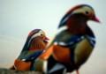 宝ヶ池のオシドリ