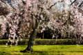 御苑内の5分咲きしだれ桜