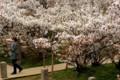 御室仁和寺の御室桜