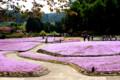 三田:永沢寺の芝桜