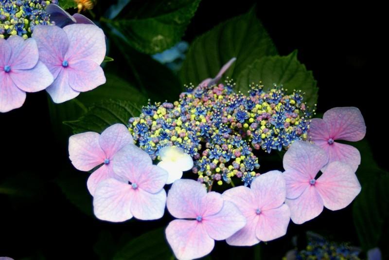 矢田寺の紫陽花