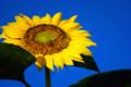 夏の花向日葵