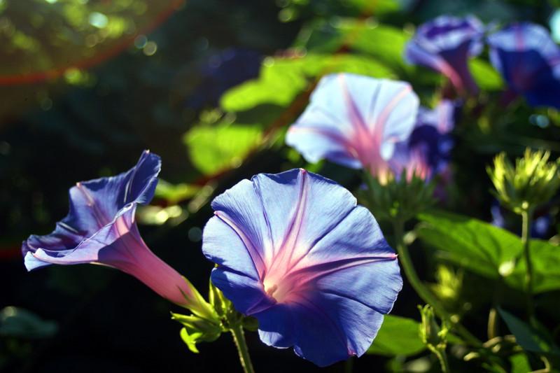 夏の花朝顔