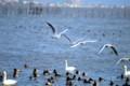 琵琶湖支那浜の鳥