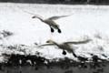 犀川白鳥湖