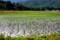 マキノの水田風景
