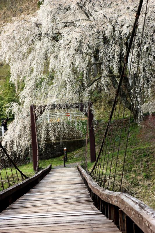 魚ヶ渕しだれ桜