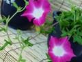 [アサガオ][朝顔][あさがお][写真素材][花][夏の花]