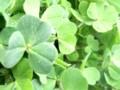 [カタバミ][クローバー][写真素材][植物][自然][緑]