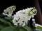 坐摩神社 柏葉紫陽花