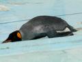 王子動物園 オウサマペンギン