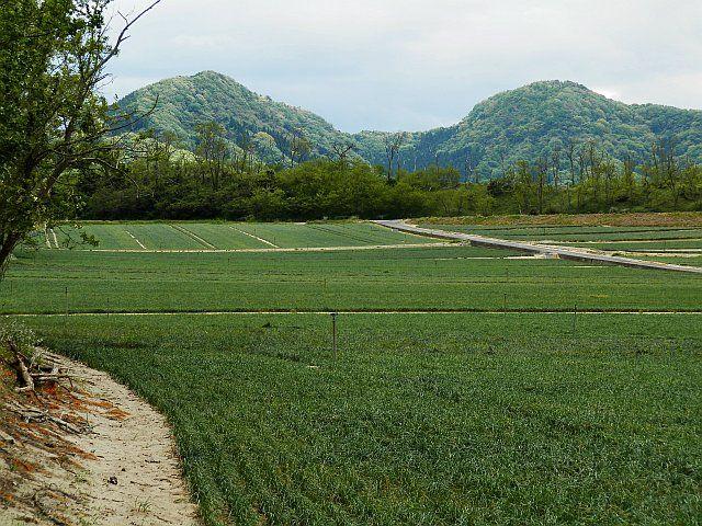 鳥取砂丘 らっきょう畑