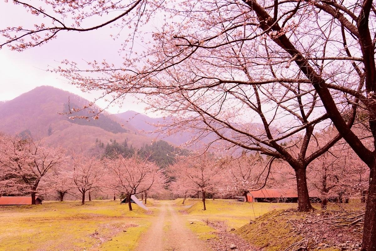 小浜市上根来(かみねごり)地区の桜