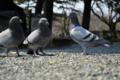 [鳥][鳩]