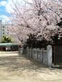 [大阪][桜]大阪天満宮
