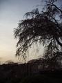 [京都][桜]円山公園