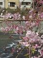 [京都][桜]三条