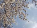 [京都][桜]