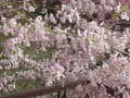 [京都]龍安寺