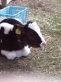 [富士ミルクランド]子牛