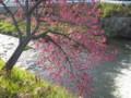 [桜]寒緋桜