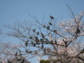 [円山公園]鳩のなる木