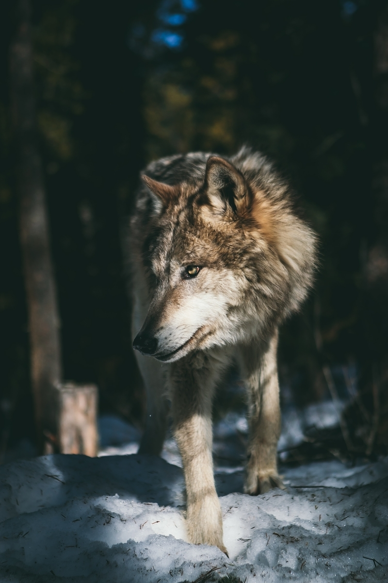 "<img src=""wolf.jpg"" alt=""天狼"">"