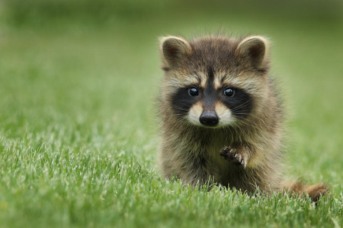 "<img src=""raccoon.jpg"" alt=""野生の狸"">"