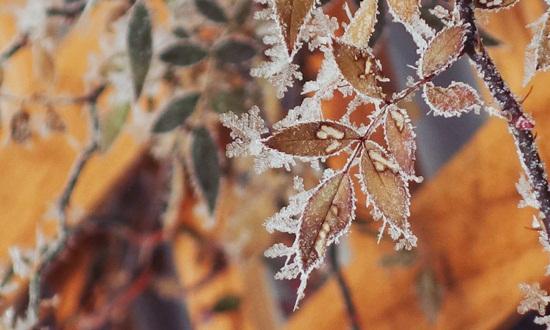 葉につく霜
