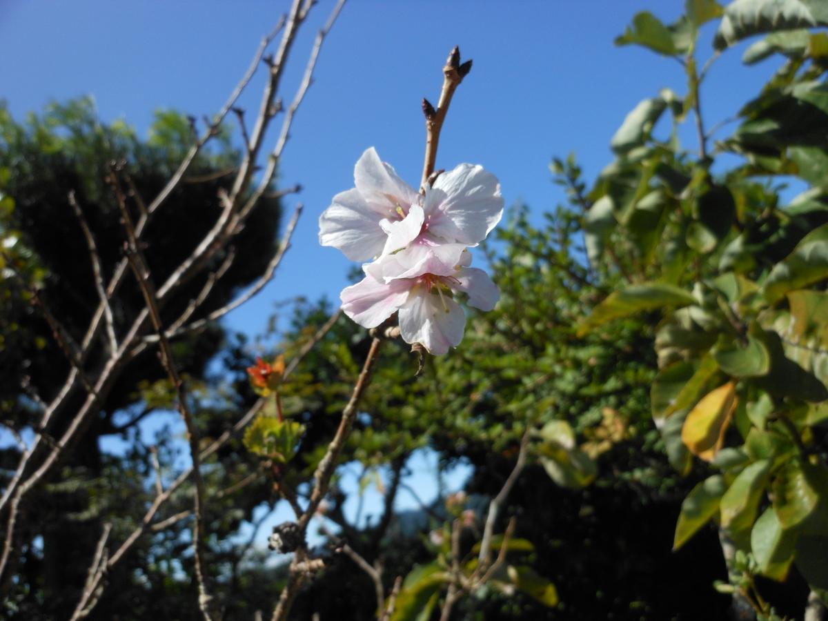 四季桜 9月
