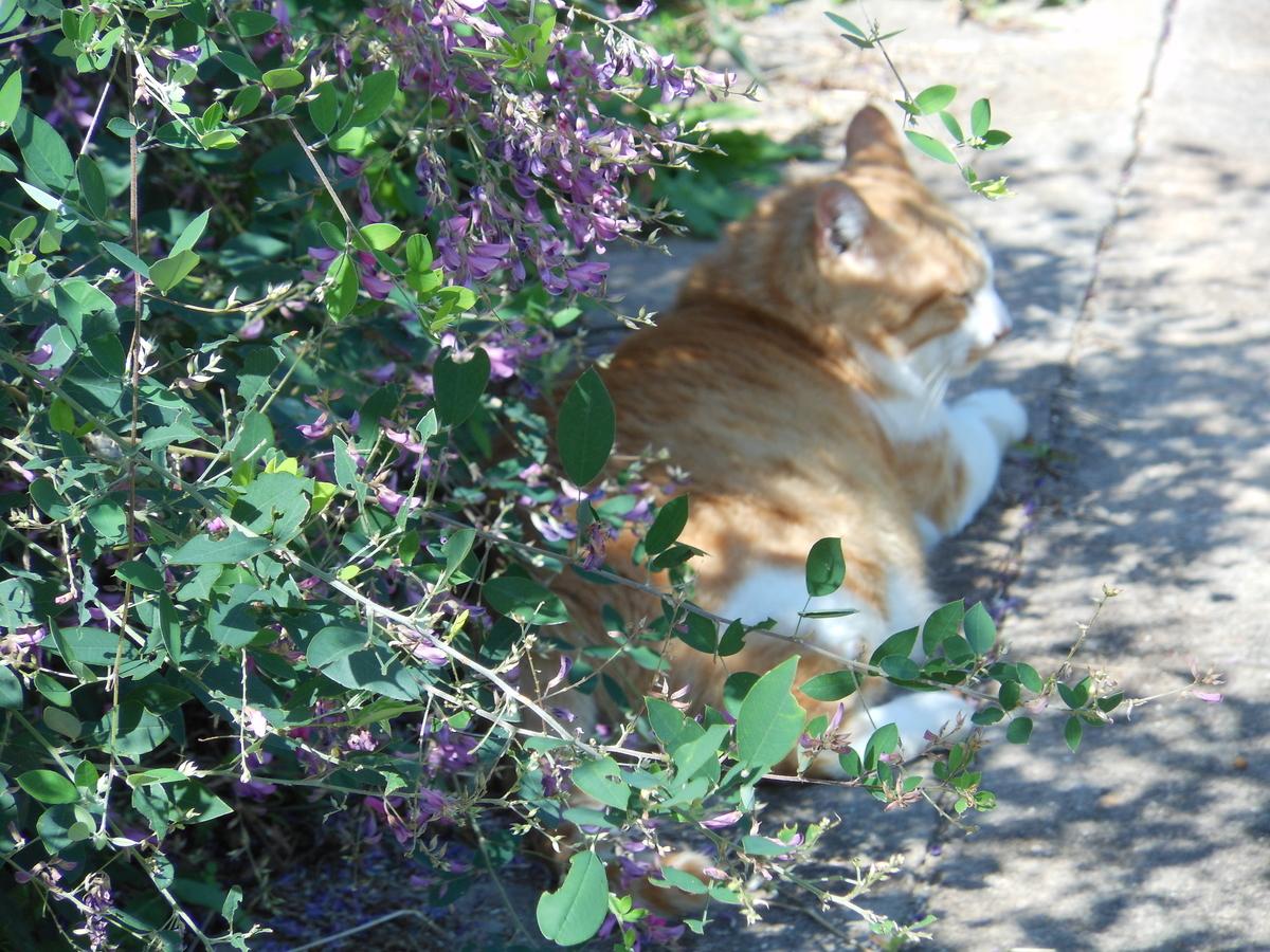 猫 萩の花