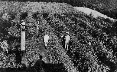 戦前の北本市のトマト畑の様子