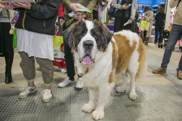 インターペットの会場に来ていたセントバーナード犬