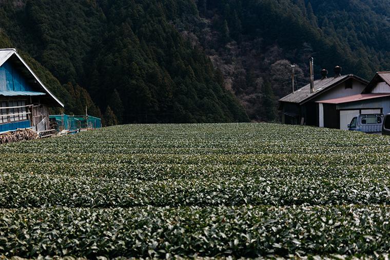 縁側カフェの町にあるお茶畑の様子