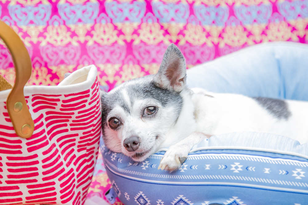 クッションの上で眠る犬(トイフォックステリア)