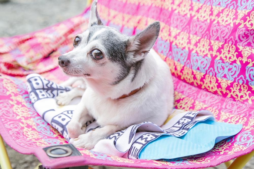 暑さ対策で、タオルで巻いた保冷剤の上に座る犬