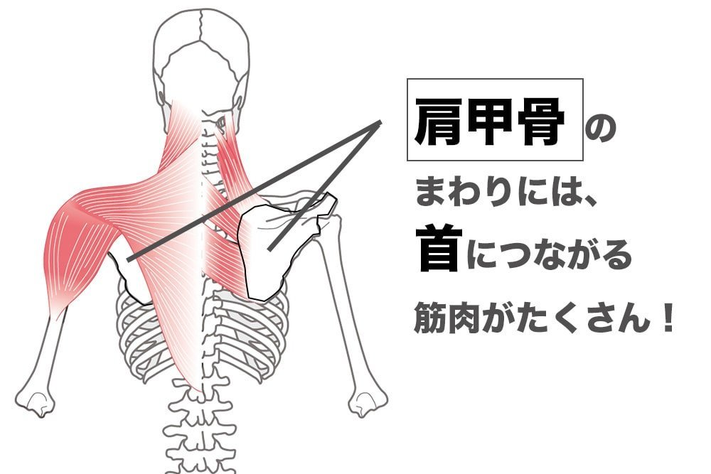 肩甲骨のまわりは首につながる筋肉がある図解
