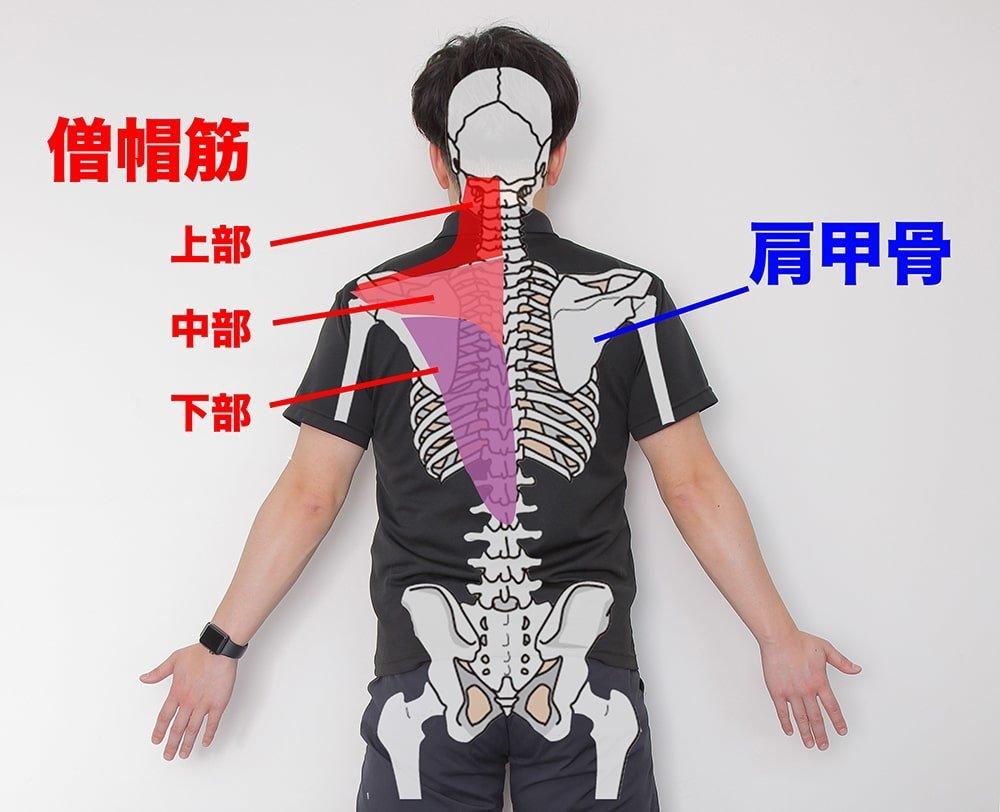 僧帽筋と肩甲骨を解説するオガトレ尾形 竜之介さん