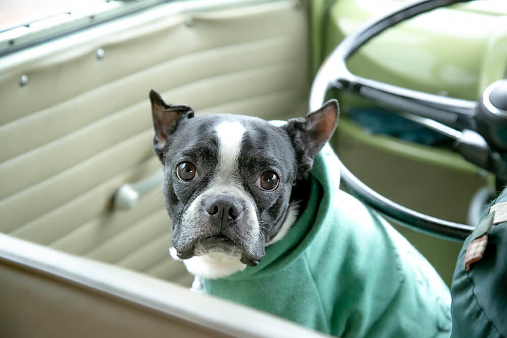 09 ワーゲンバスの運転席に座る犬。ボストンテリアのゆずちゃん