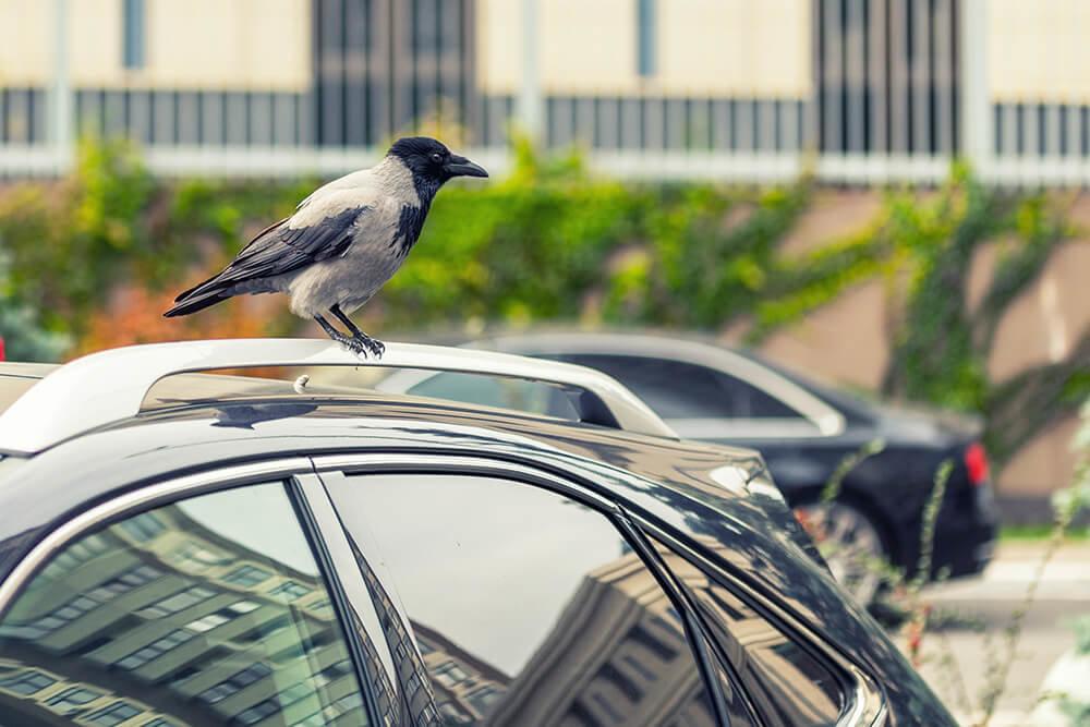 クルマに鳥が糞をしているイメージ